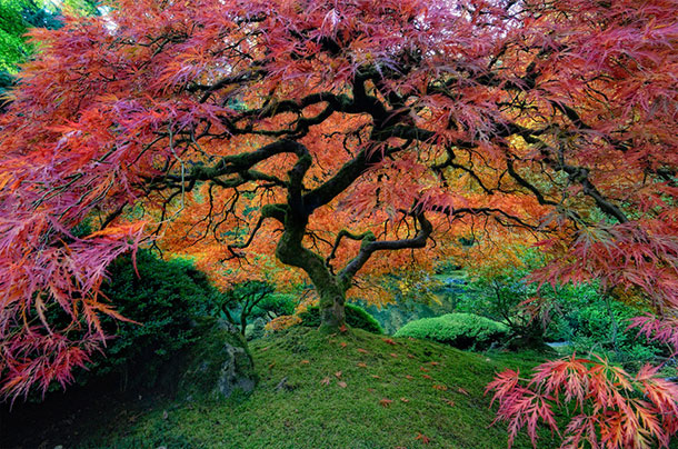 Portland Japanese Garden located in Washington Park, Portland, Oregon, USA . http://atchuup.com/worlds-most-beautiful-trees/